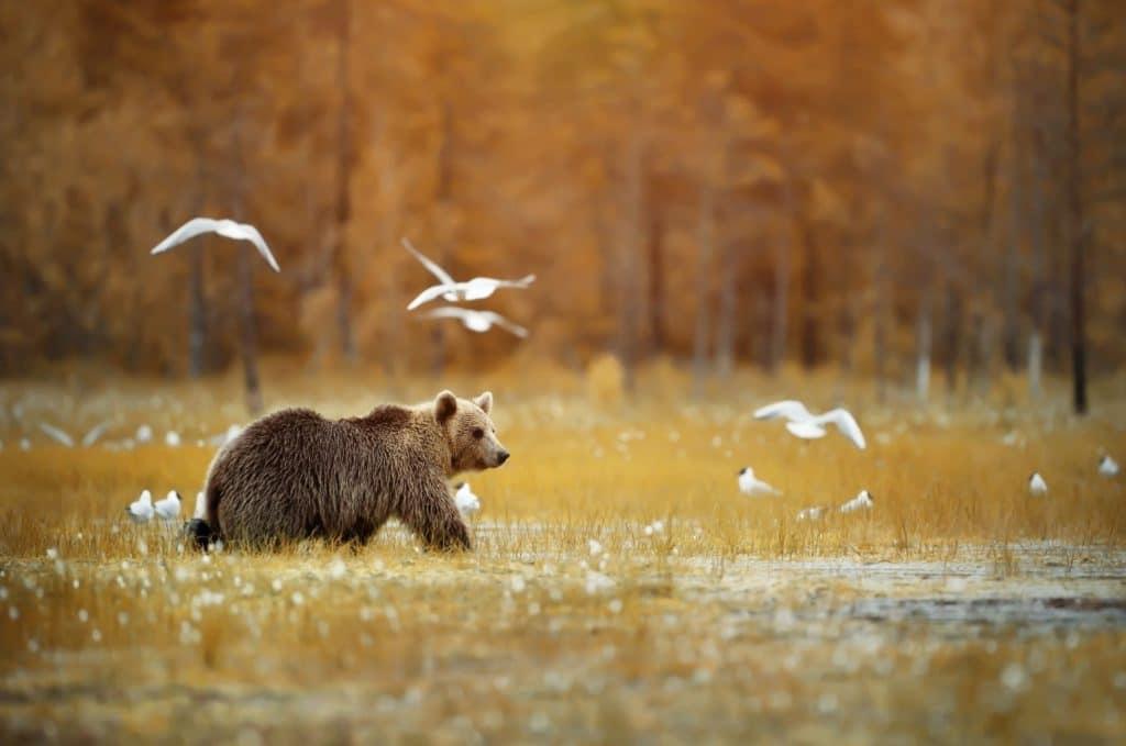 Isonkenkäisten Klubi karhu ja linnut ruolla